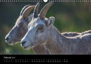 Dickhornschafe, Bighorn Sheep, Jasper NP