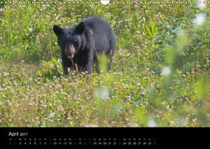 Schwarzbär, Black Bear, Alaska-Highway