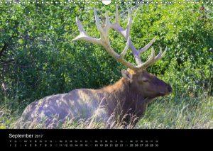 Wapiti, Elk, Jasper NP