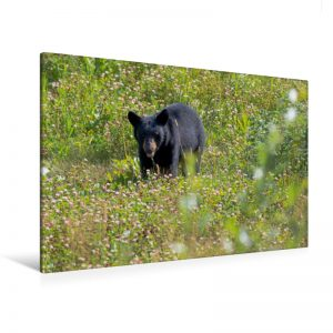Black Bear, West Canada